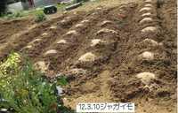 ジャガイモ植え付け.jpg