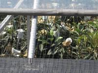 ビワの温室栽培.jpg