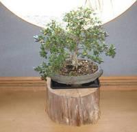 レストランのミニ盆栽.jpg