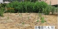 各種野菜苗11.4.16.jpg