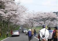 庭木ダム公園の桜�A.jpg