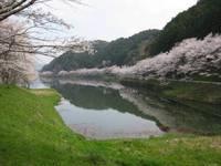 庭木ダム公園の桜�B.jpg