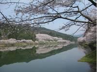 庭木ダム公園の桜�C.jpg