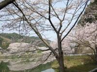 庭木ダム公園の桜�D.jpg