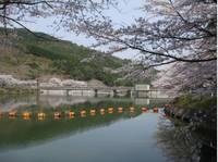 庭木ダム公園の桜�E.jpg