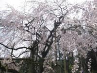 波佐見町のしだれ桜�A.jpg