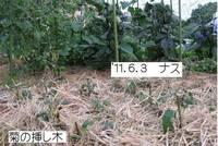菊の挿し木.jpg